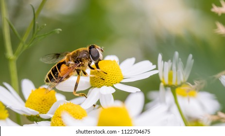 Eristalis tenax is a hoverfly, also known as the drone fly on a white daisy