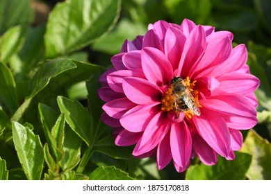 Eristalis tenax is a hoverfly, also known as the drone fly in dahlia flower. High resolution photo. Full depth of field.