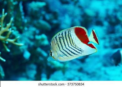Eritrean butterflyfish (Chaetodon paucifasciatus) in the Red Sea, Egypt.