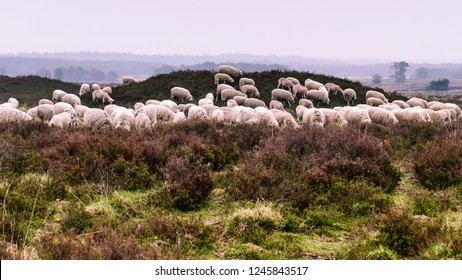 Ermelo, Netherlands - 2018-05-12: Flock of Veluwe Heath Sheep grazing on a barrow or tumulus in the Ermeloosche Heide (heath), Veluwe Gelderland, the Netherlands.