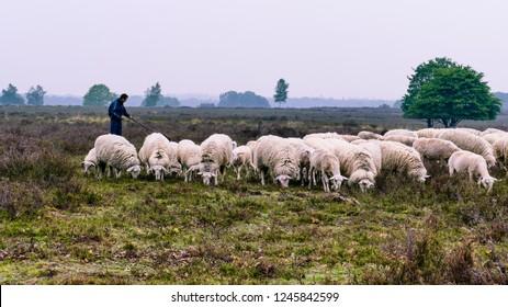 Ermelo, Netherlands - 2018-05-12:  Shepherd with his flock of Veluwe Heath Sheep on the Ermelo Heath (Ermelosche Heide) - Veluwe, Gelderland, the Netherlands