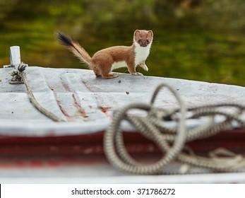 The ermine has climbed on a boat - Jack London's lake. Kolyma