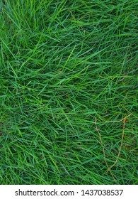 Erode, India - April 14, 2019 : Portrait view of green grass