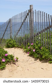 erosion fencing on the sandy cliffs above the ocean in Cape Cod National Seashore with blooming bright pink beach roses