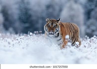 ery dangerous Siberian tigerin a snowy landscape