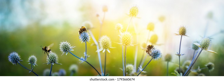 Eryngium alpinum is a perennial herb in the  Umbelliferae family. View of  holly flowers and flying bumblebees. Macro shot. Summer fantasy background.  Concept summer and autumn flower background.