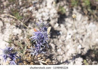 Eryngium amethystinum violet plant and flowers with a butterfly - Apiaceae (Marche, Italy, Europe)