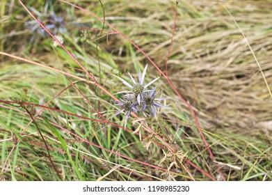 Eryngium amethystinum violet plant and flowers - Apiaceae (Marche, Italy, Europe)