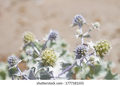 Eryngium maritimum or seaside eryngo as background