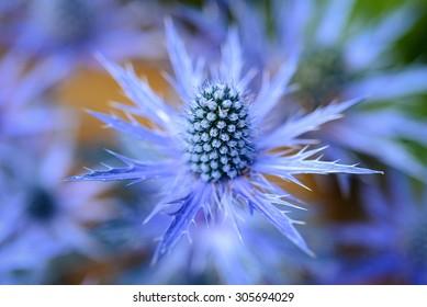 Eryngium planum Blue Sea Holly in garden