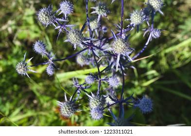 Eryngium planum flower head on summer meadow background. Herbal medicine.