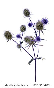 Eryngium (sea holly) isolated on white