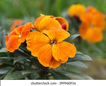 Erysimum aka wallflower. Spring garden plant, orange bloom.