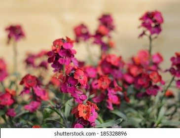 Erysimum Bowles Mauve with purple and red flowers. Shallow depth of field.