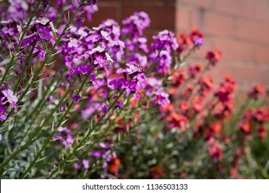 Erysimum Bowles's Mauve plants in flower in late May. A type of wallflower positioned against a brick wall, North Yorkshire, England, United Kingdom