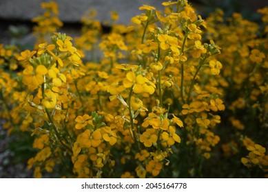Erysimum capitatum is a species of wallflower known commonly as the sanddune wallflower, western wallflower, or prairie rocket.