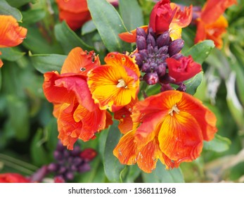 Erysimum commonly known as wallflowers  bright springtime flowers