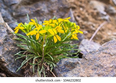 Erysimum franciscanum, commonly known as the Franciscan wallflower or San Francisco wallflower, endemic to California; classified as at risk (vulnerable); has a limited, discontinuous distribution