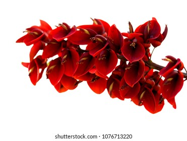 Erythrina crista-galli, cockspur coral tree flowers isolated on white