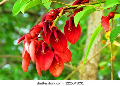 Erythrina crista-galli, cockspur coral tree flowers. Ceiba flowers.