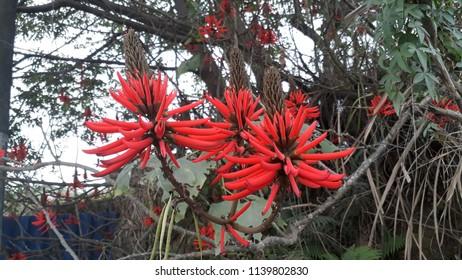 erytrhina speciosa flowers