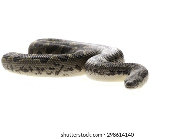 Eryx conicus isolated on white background boa