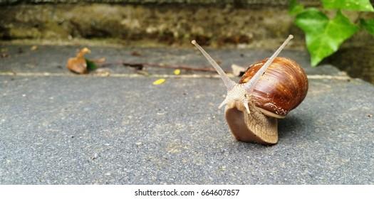 Escargot (Helix pomatia)