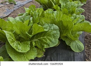 Escarole lettuce plants in Tosu, Saga, Japan