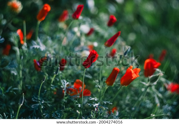 eschscholzia-california-poppy-plants-fam