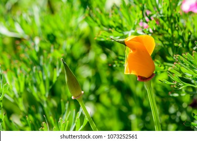 Eschscholzia californica (California Poppy, Cup of Gold, Golden Poppy) ; An orange curly petals, stacked together as a cup. long flower stalk. Upward facing. Wavy leaves, deep concave edge, branched.