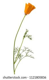 Eschscholzia californica or California poppy flower isolated on white background