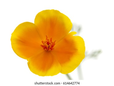 Eschscholzia californica, California poppy isolated on white