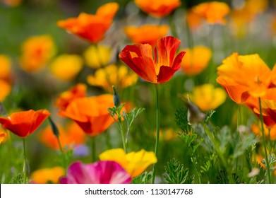 Eschscholzia californica cup of gold bunch of flowers in bloom, californian field, ornamental wild plants on a meadow, orange petals in green grass