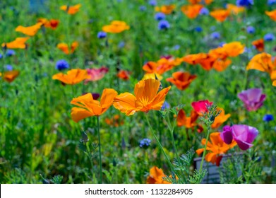 Eschscholzia californica cup of gold bunch of flowers in bloom, californian field, ornamental wild plants on a meadow, orange and pink purple bright petals in green grass