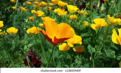 Eschscholzia californica - golden poppy flower in garden