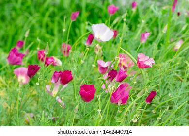 Eschscholzia californica or Poppy Carmine King is a flowering herb. The symbol of California. Pink purple small flowers with delicate petals.