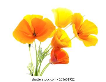 Eschscholzia. Flowers eshsholtsiya.