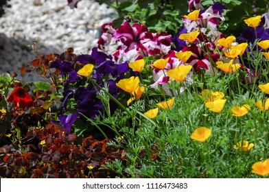 Eschscholzia is a genus of 12 annual or perennial plants in Papaveraceae