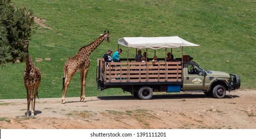 Escondido, CA / USA - 05/05/2019: Giraffes Next to a Safari Truck at the San Diego Zoo Safari Park