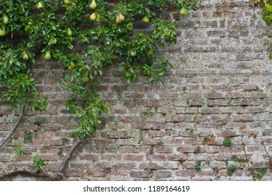 Espalier trained pear tree growing on a centuries old stone wall and trellis with ripening fruit