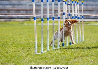 Espanol breton dog at the slalom in agility competition.