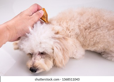Essential oil spot-on pipette drips on pet dog to restore skin hydration and reinforcing skin barrier function