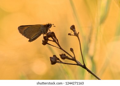 Essex skipper or european skipper (Thymelicus lineola) sitting in sunset