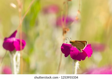 Essex skipper or european skipper (Thymelicus lineola) sitting on rose champion, bright magenta flower (Silene coronaria)