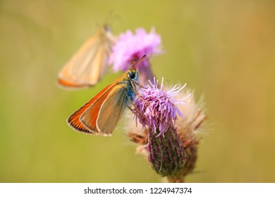 Essex skipper (Thymelicus lineola) pollinating and feeding on purple thistle flowers in a meadow during a sunny day