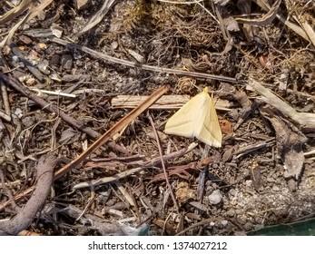 estal moth, Rhodometra sacraria, in Galicia, Spain