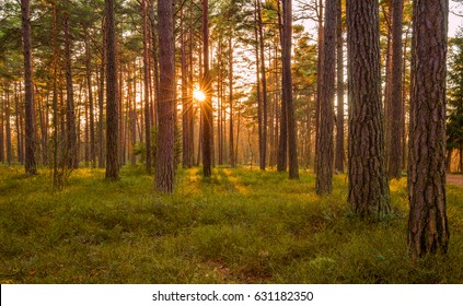 Estonia. Pine forest. Spring. Sunset.