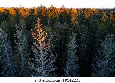 Estonian boreal forest with dead spruce trees after European spruce bark beetle, Ips typographus attack.