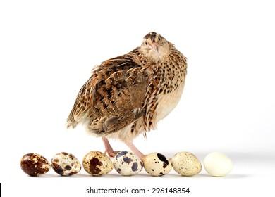 Estonian breed quail and quail eggs