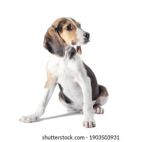 Estonian Hound puppy sits on a white background and looks to the right